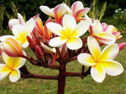hawaii 3-18 022PLUMERIA