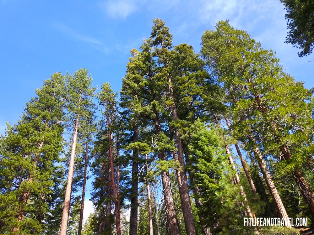 Beautiful trees throughout Yosemite National Park. Hiking Half Dome