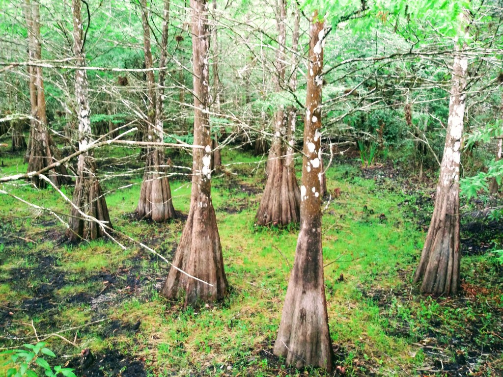 Six Mile Cypress Slough Preserve. Fort Myers, Florida.  Fitlifeandtravel.com