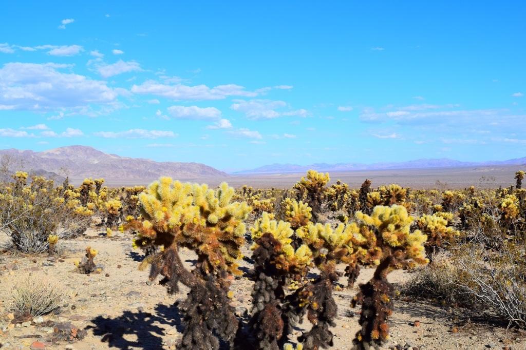 The Cactus Garden. Joshua Tree National Park. California.