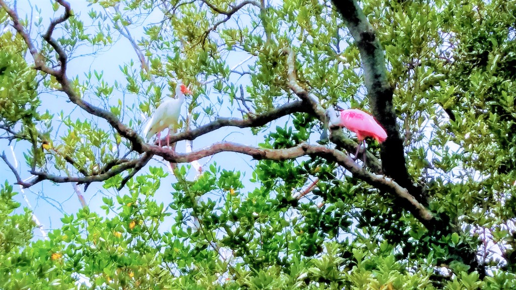 White Ibis and roseate spoonbill on a branch on Sister Key, Florida. Shelling at Shell Key. Fitlifeandtravel.com
