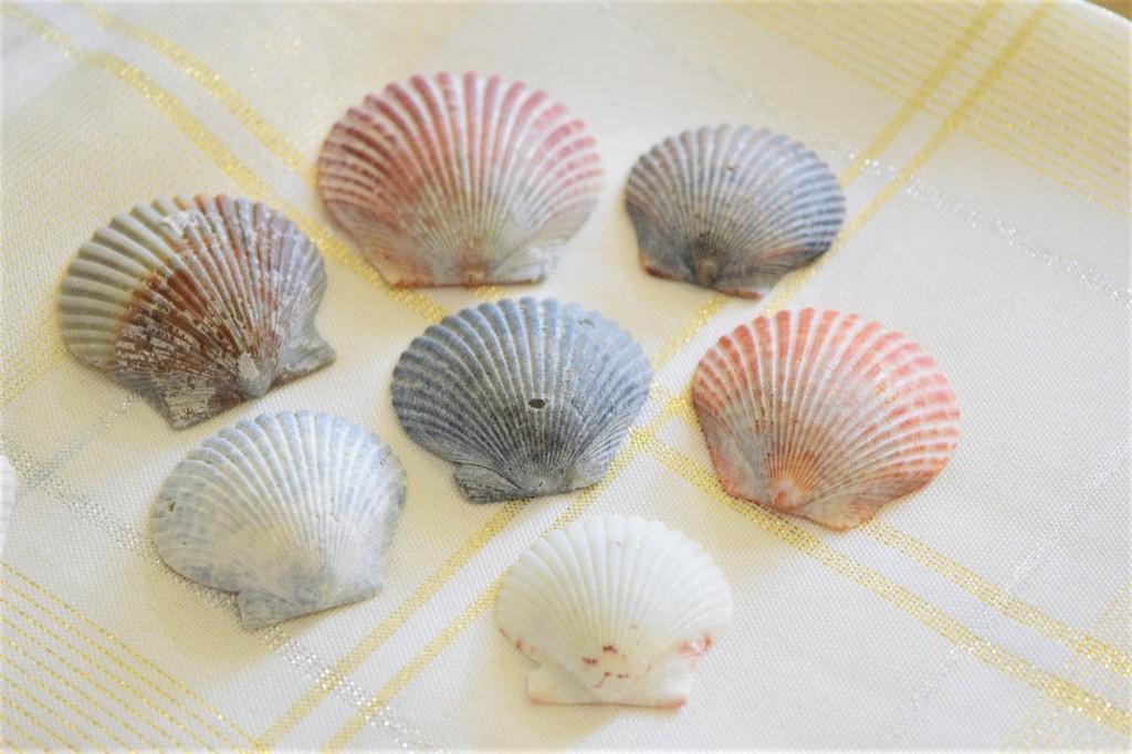 Scallop Shells. ShellingWithShannon. Shelling at Fort De Soto. Florida. Fitlifeandtravel.com