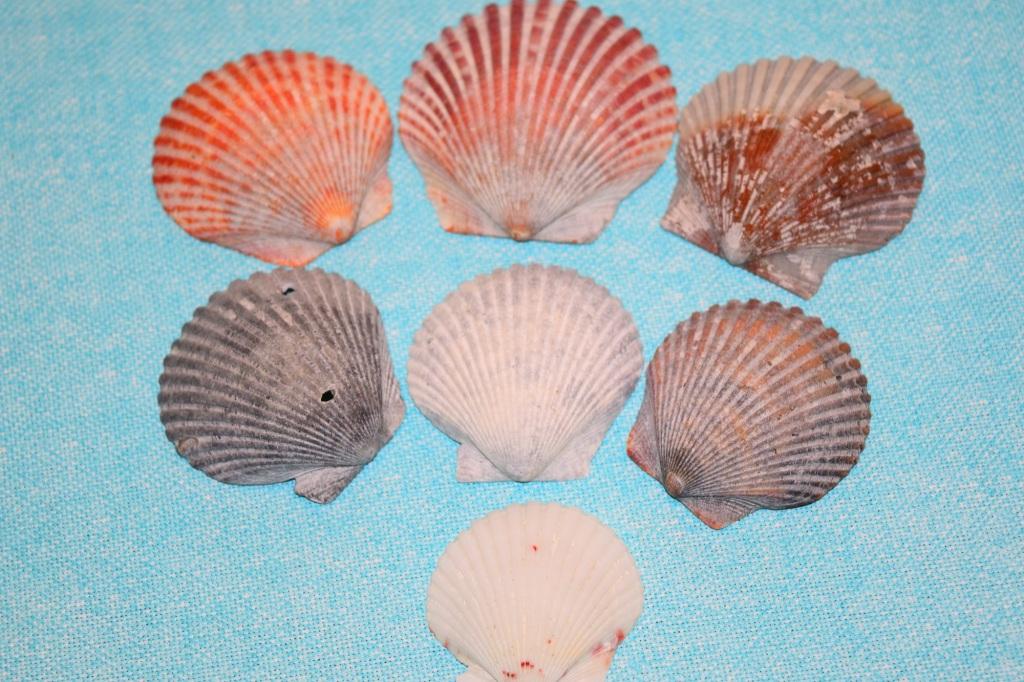 Pecten Ravenleli. Shells at Shell Key, Florida.  Fitlifeandtravel.com