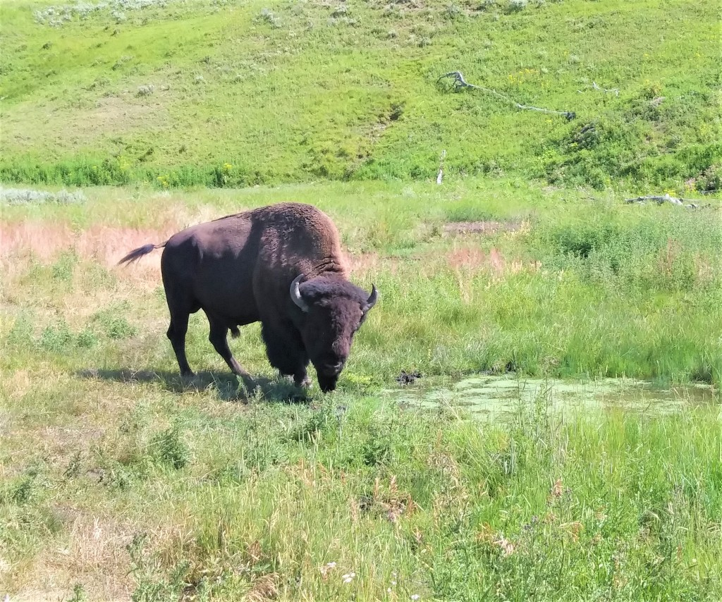 Buffalo at Yellowstone National Park. FitlifeandTravel.com
