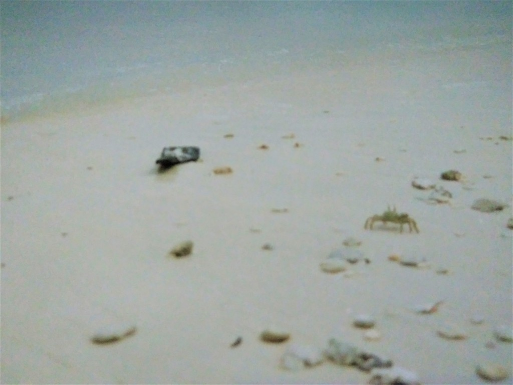 Giant crabs on Diego Garcia