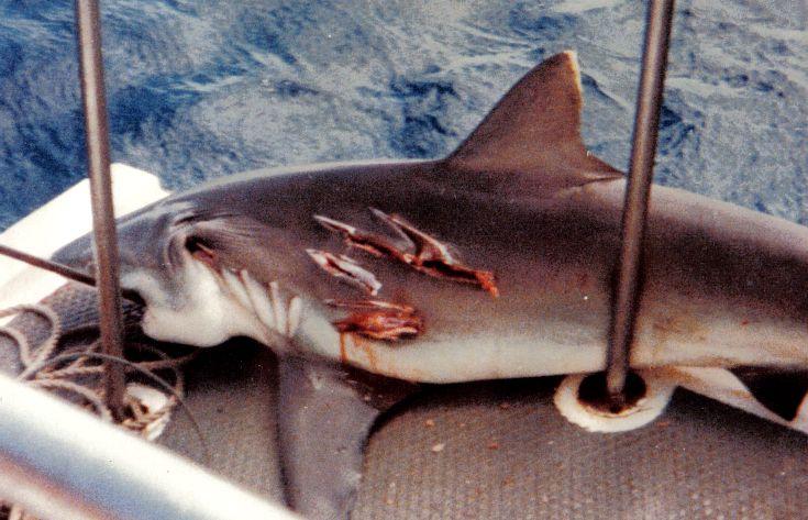 Photy by Vernon Wong/Tony Pallace. Hector the Hammerhead Shark, Diego Garcia.