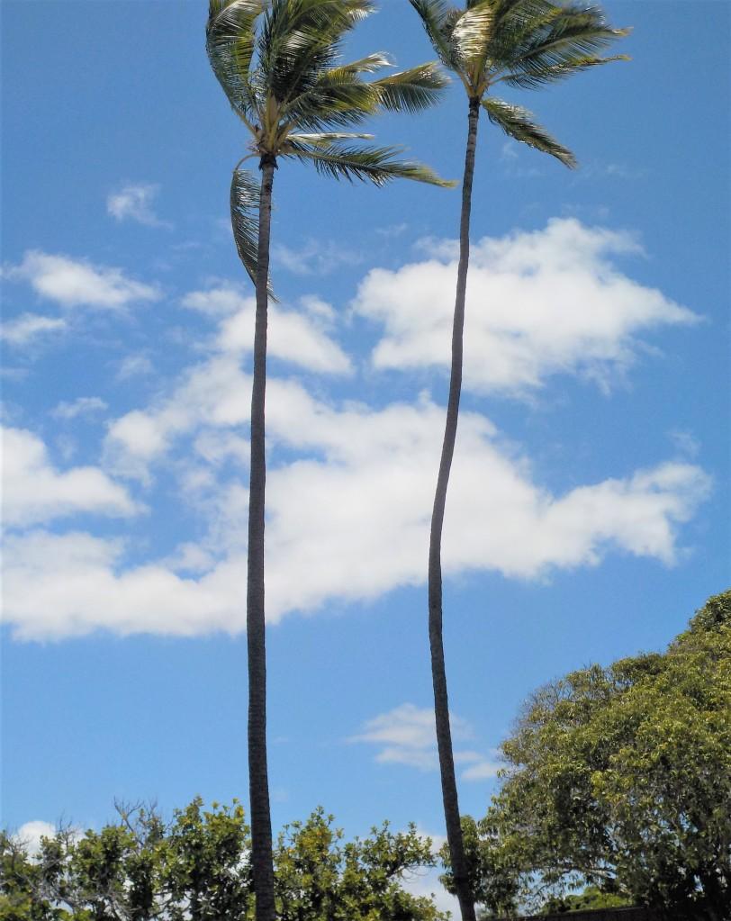 Coconut trees in Hawaii