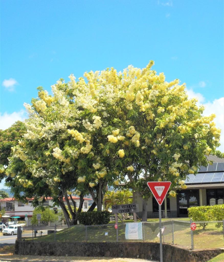Tropical trees in Hawaii