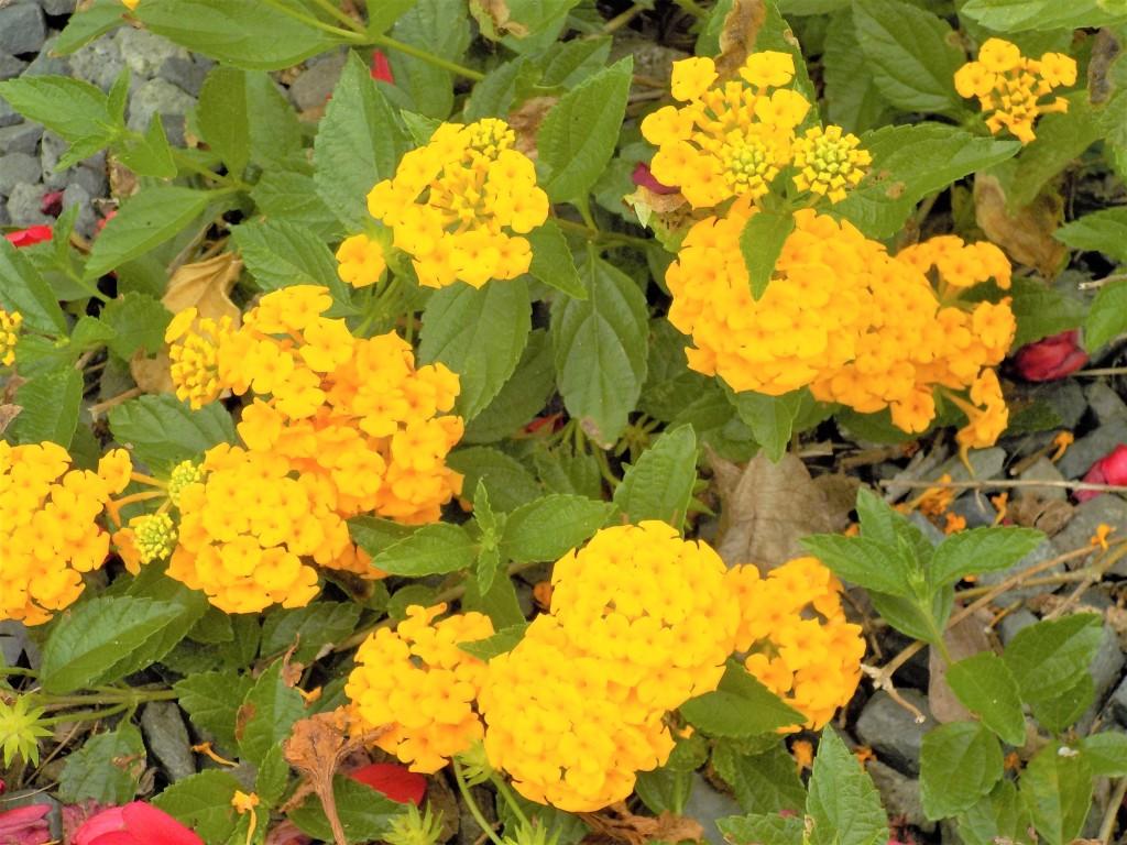 Yellow tropical flowers Hawaii